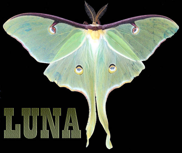 Butterfly Digital Art Art Print featuring the photograph Luna 1 by Mim White