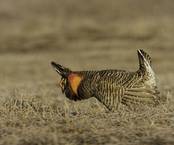 Prairie Chicken Art Print featuring the photograph Prairie Chicken-9 by Thomas Young