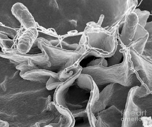 Microbiology Print featuring the photograph Salmonella Bacteria, Sem by Science Source