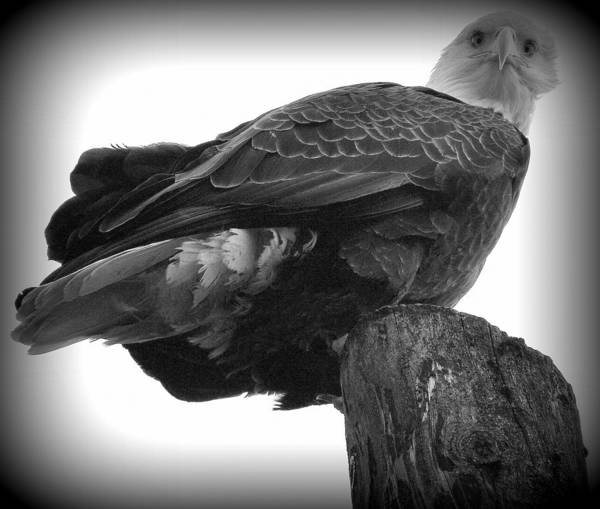 Birds Eagle Art Print featuring the photograph And Your Name Is by Susan Stephenson