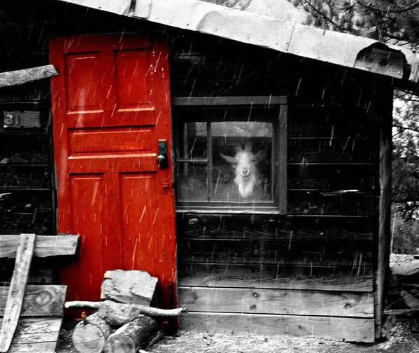 Goat Art Print featuring the digital art In The Goat House by Carrie OBrien Sibley