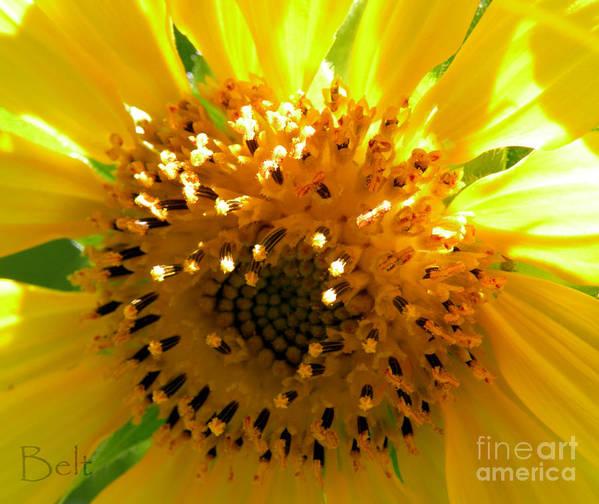 Sunflower Art Print featuring the photograph Sunflower No.16 by Christine Belt