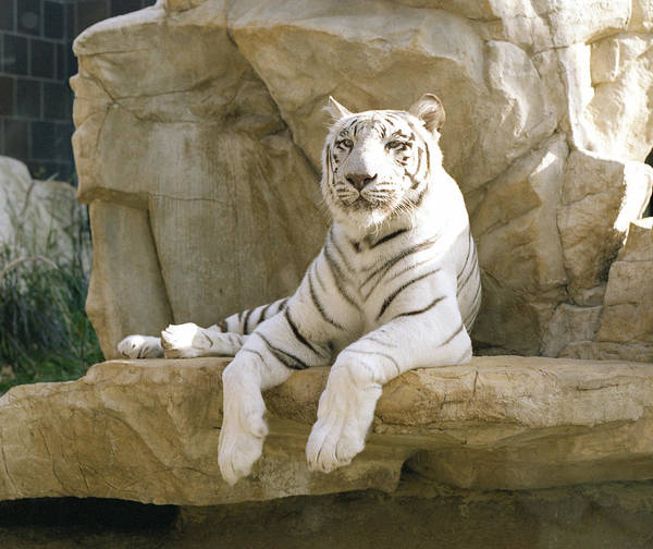 henry Doorly Zoo Art Print featuring the photograph White Tiger by John Bowers