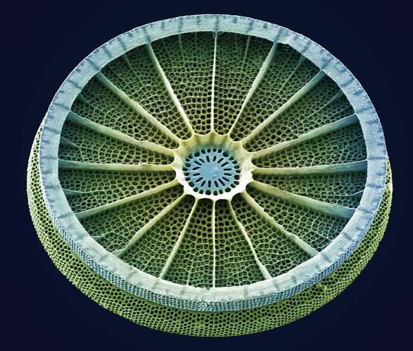 Arachnoidiscus Sp. Art Print featuring the photograph Diatom, Sem by Steve Gschmeissner