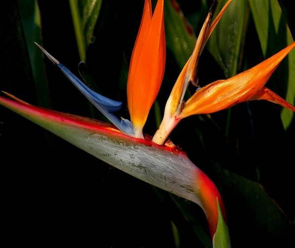Flowers Art Print featuring the photograph Bird Of Paradise by Rosalie Scanlon
