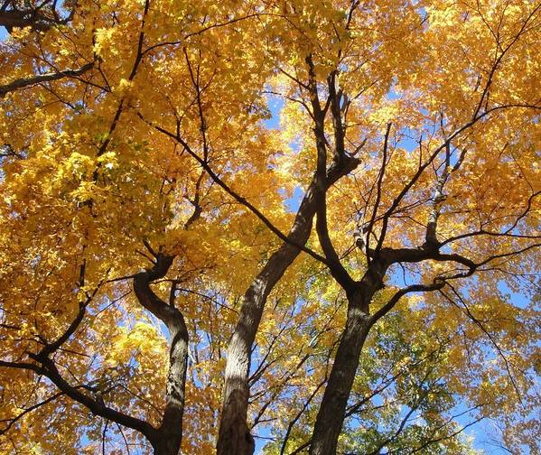 Tree Art Print featuring the photograph Gold And Blue by Carrie Auwaerter