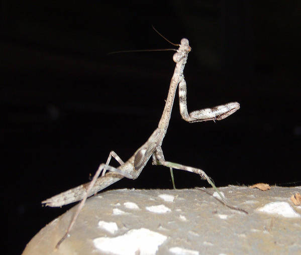 Praying Mantis Art Print featuring the photograph Is This My Good Side by Nicole I Hamilton