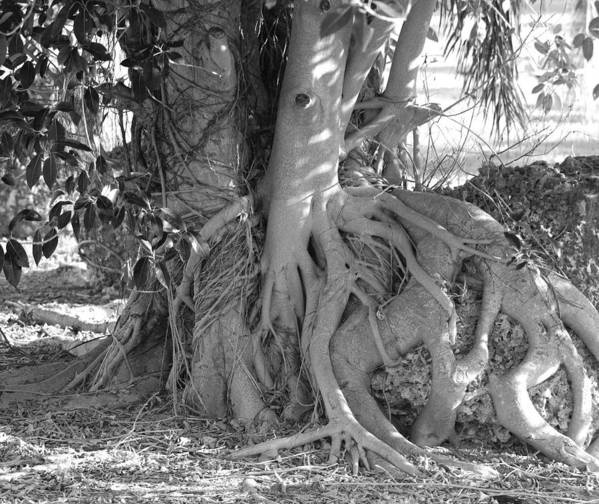 Tree Art Print featuring the photograph Rooted Tree by Rob Hans