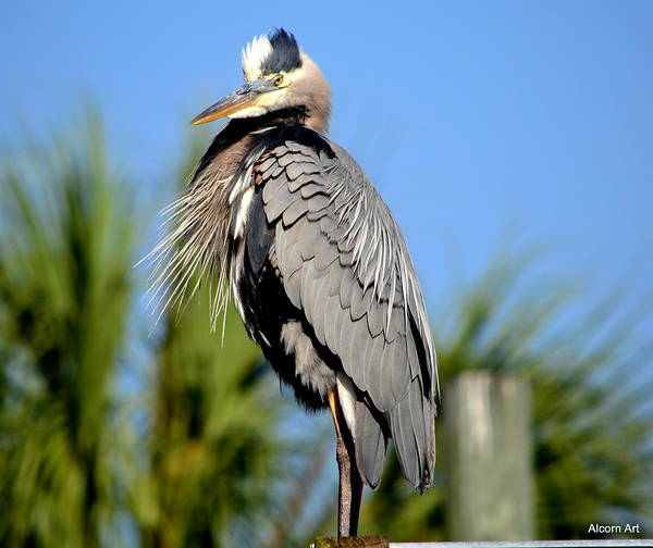 Blue Heron Art Print featuring the photograph Ruffled by Brenda Alcorn