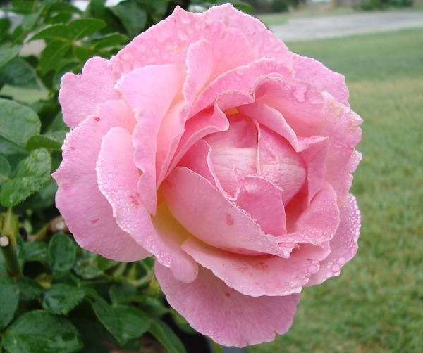 Rose Art Print featuring the photograph Sweet Peach Rose by Tong Steinle