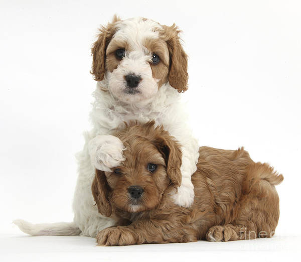 Red-and-white Cavapoo Puppies Art Print featuring the photograph Cavapoo Puppies Hugging by Mark Taylor