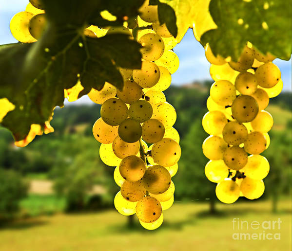Green Art Print featuring the photograph Yellow Grapes by Elena Elisseeva