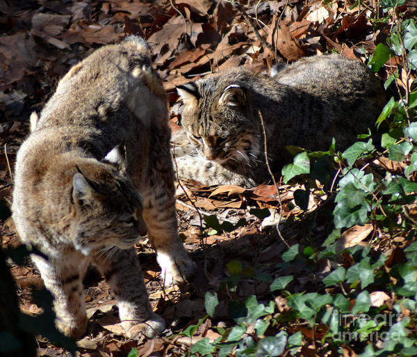 Wildlife Art Print featuring the photograph Bobcat Couple by Eva Thomas