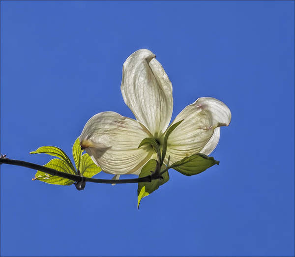 Flower And Sky Art Print featuring the photograph Flower And Sky by Robert Ullmann