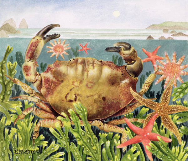 Starfish; Seaweed; Sea Art Print featuring the painting Furrowed Crab With Starfish Underwater by EB Watts