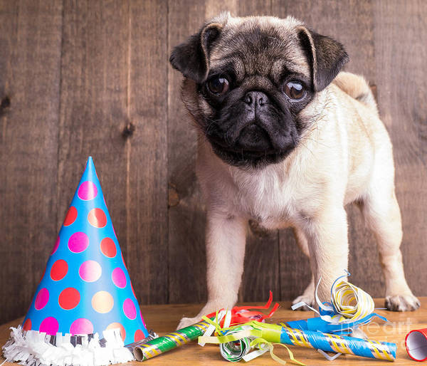 Dog Art Print featuring the photograph Happy Birthday Cute Pug Puppy by Edward Fielding