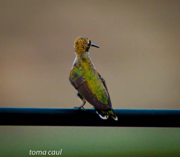 Birds Art Print featuring the photograph Hummingbird Sitting Pretty by Toma Caul