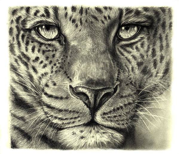 Leopard Art Print featuring the drawing Leopard by Heidi Kriel