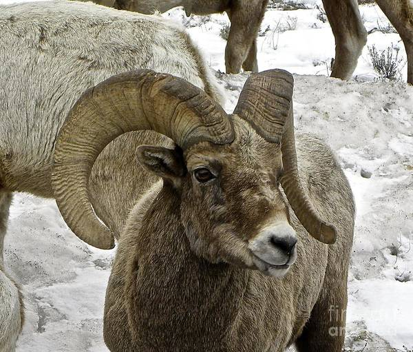 Big Horn Sheep Art Print featuring the photograph Old Big Horn Sheep by Tisha Clinkenbeard