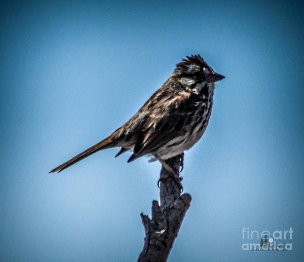 Bird Art Print featuring the photograph Song Sparrow On Top Of Branch by Ronald Grogan