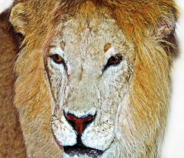 Animal Art Print featuring the photograph The King by Susan Leggett