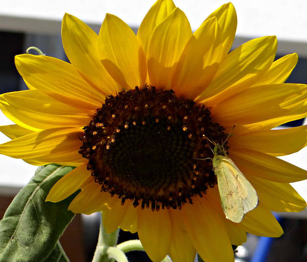 Sunflower Art Print featuring the photograph Visitor by Brenda Conrad