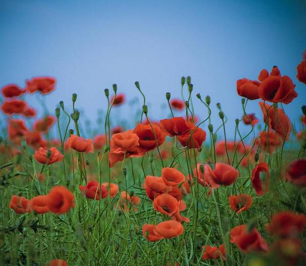 Horizontal Art Print featuring the photograph Blood Red Poppies On Vibrant Green And Blue Sky by Edward Carlile Portraits