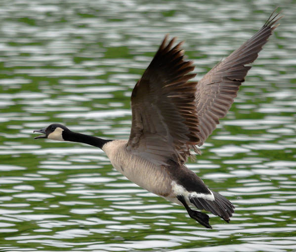 Art Print featuring the photograph Canadian Goose by Brian Stevens