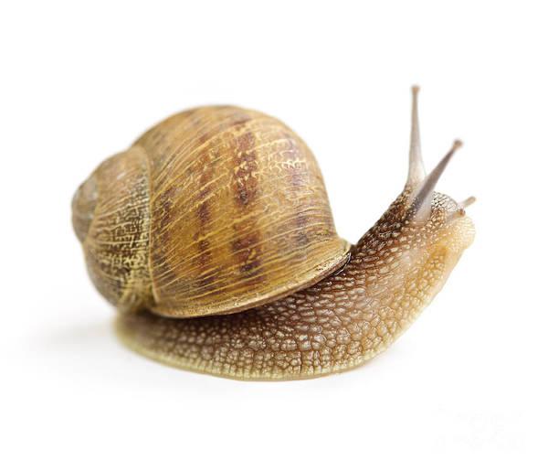 Snail Art Print featuring the photograph Curious Snail by Elena Elisseeva
