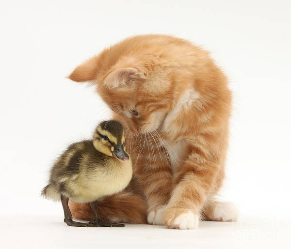Nature Art Print featuring the photograph Ginger Kitten And Mallard Duckling by Mark Taylor