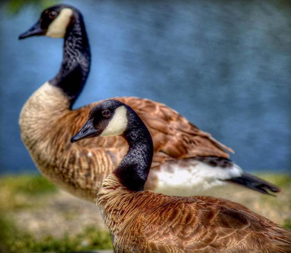 Geese Art Print featuring the photograph Kicking Back by Craig Incardone