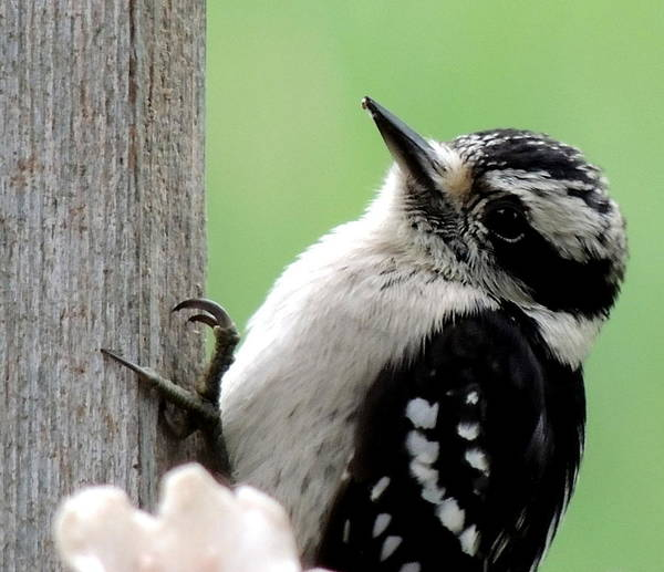 Bird. Woodpecker Photographs Art Print featuring the photograph Look At Me I'm So Cute by Amalia Jonas
