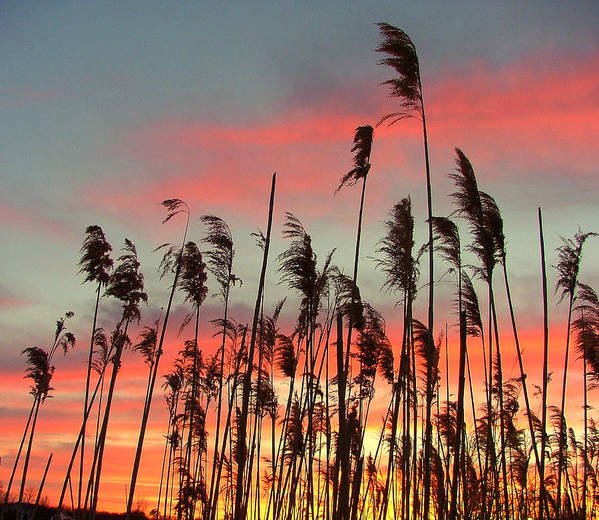 Sunset Art Print featuring the photograph Point Pelee Sunset by Don Downer