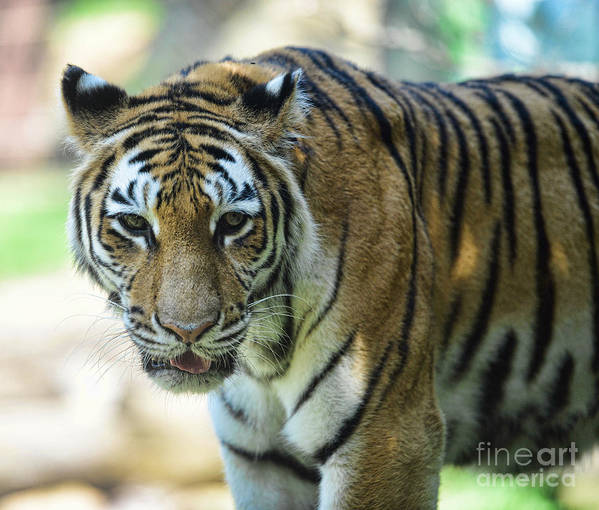 Tiger Art Print featuring the photograph Tiger - Endangered - Wildlife Rescue by Paul Ward