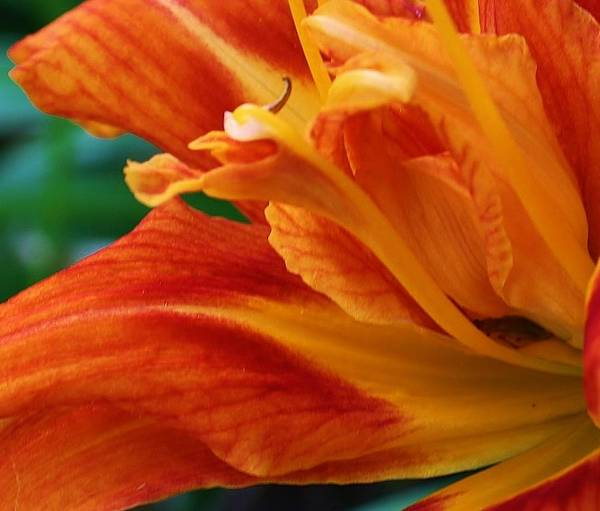 Flora Art Print featuring the photograph Waves Of Orange by Bruce Bley