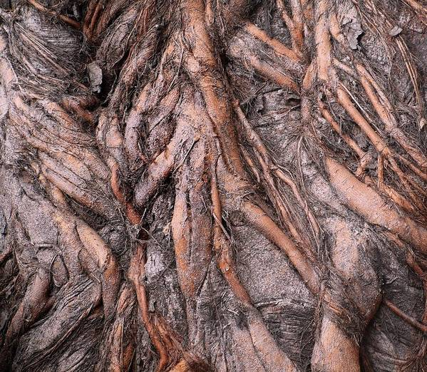Root Art Print featuring the photograph Intricate Root System by Yali Shi