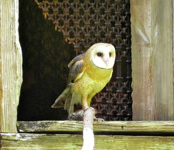 Bird Art Print featuring the photograph Barn Owl On The Prowl by Maureen Beaudet