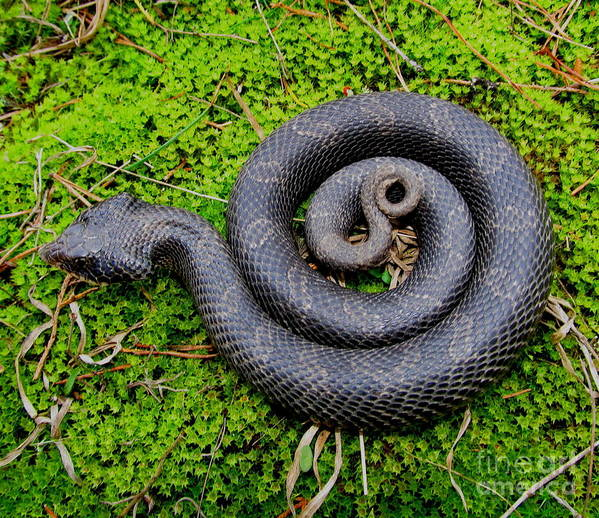 Eastern Hognose Snake Art Print featuring the photograph Hognose Spiral by Joshua Bales