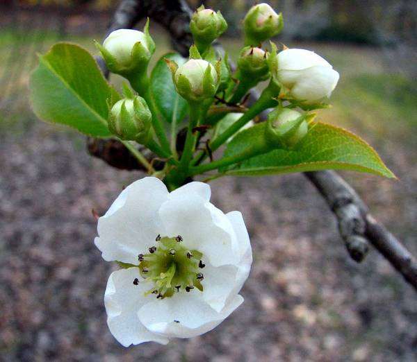 Pear Tree Blossum Art Print featuring the photograph Pear Tree Blossom 3 by J M Farris Photography