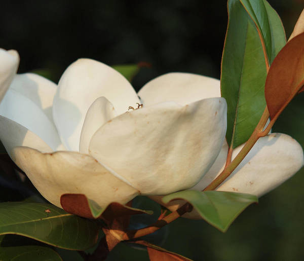 Flowers Art Print featuring the photograph Southern Magnolia by Diane Luke