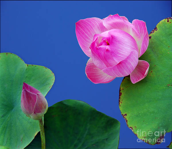 Water Lili Green Pink Flower Blue Color Nature Art Print featuring the photograph Water Lili by Ty Lee