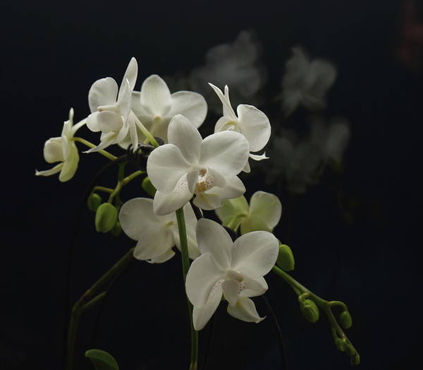 White Orchid Art Print featuring the photograph White Orchid And Reflection by Jeff Townsend