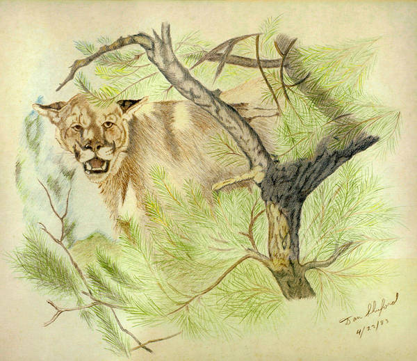 Cat Art Print featuring the drawing Wild Cougar by Daniel Shuford