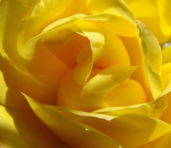 Roses Art Print featuring the photograph Yellow Rose by Liz Vernand