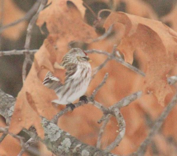 Bird Art Print featuring the photograph red by Bonnie Sams