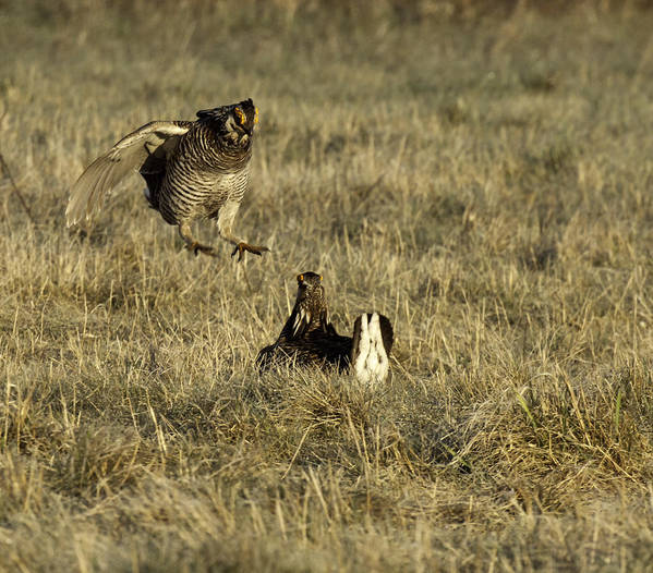 Wisconsin Prairie Chickens Art Print featuring the photograph Lift Off by Thomas Young