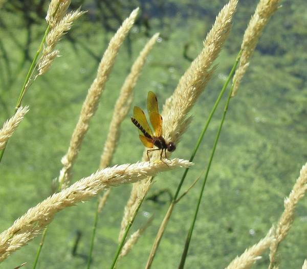 Dragonfly Golden Color Art Print featuring the photograph Dragonfly-2 by Todd Sherlock