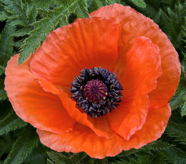 Nature Art Print featuring the photograph Poppy II by Michael Friedman