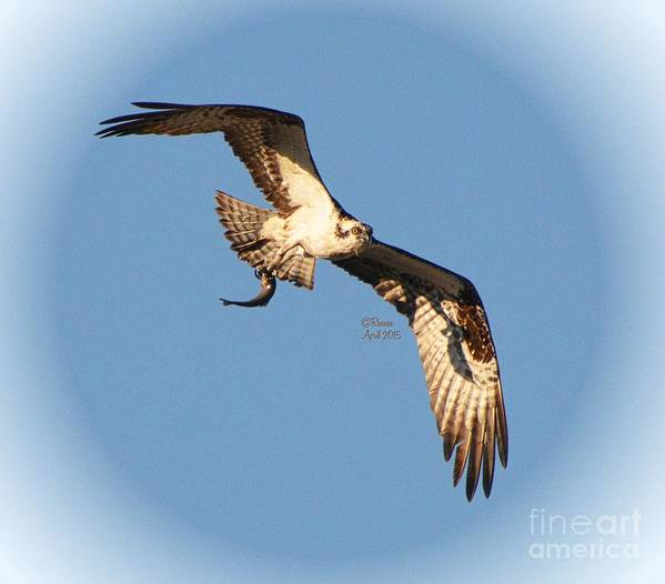 Art Print featuring the photograph Osprey Natures Way by Rennae Christman
