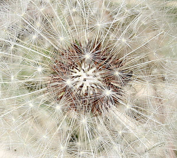 Dandelion Art Print featuring the photograph Dandelion by Kume Bryant